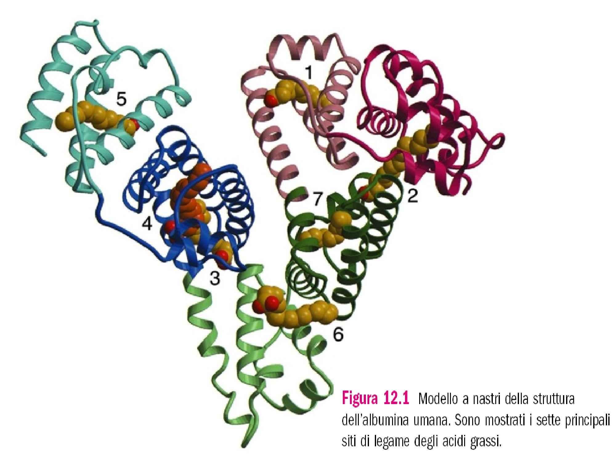 Emoglobina e mioglobina - Confronto