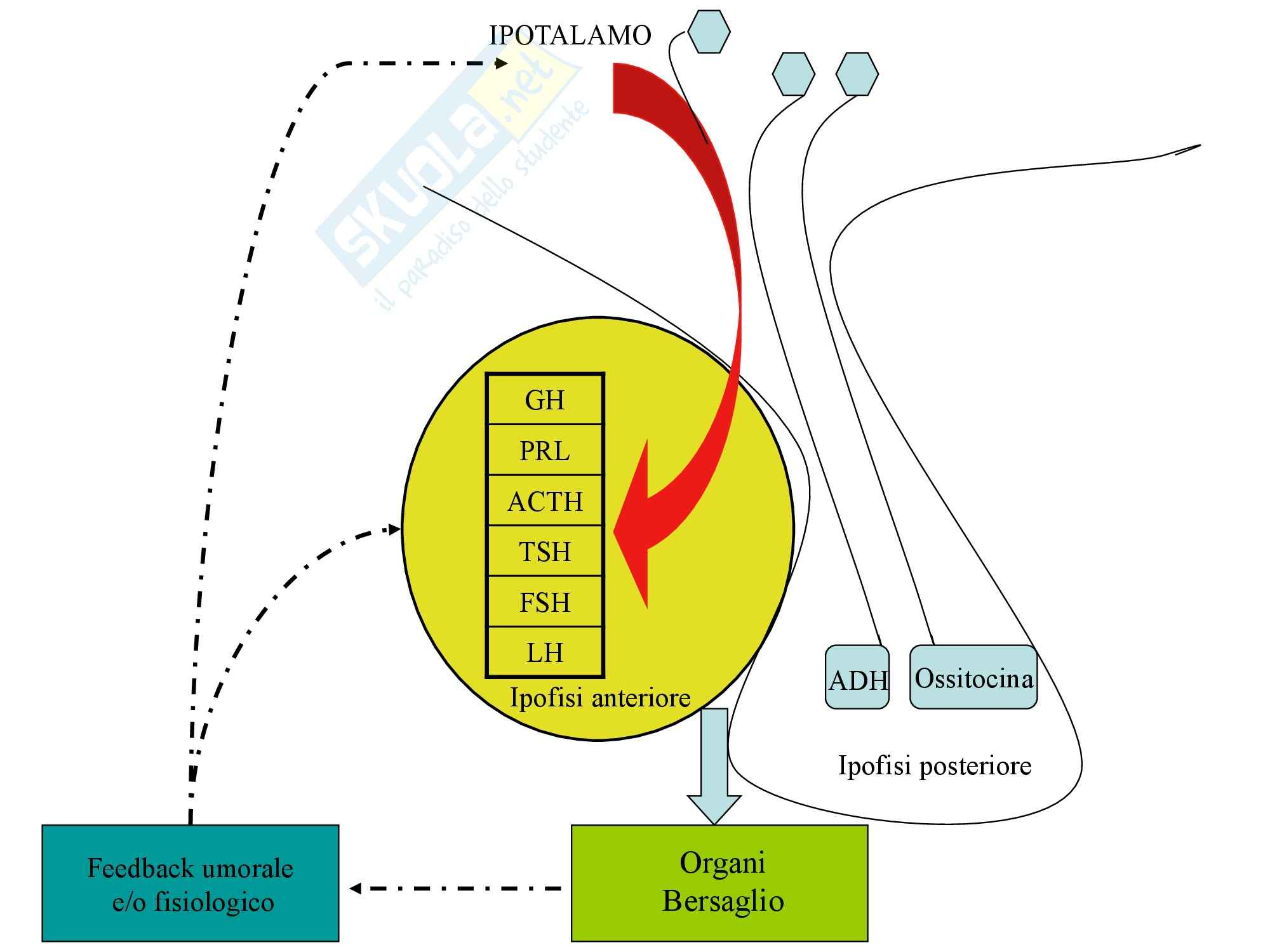 Biochimica Clinica - Ormoni Pag. 2