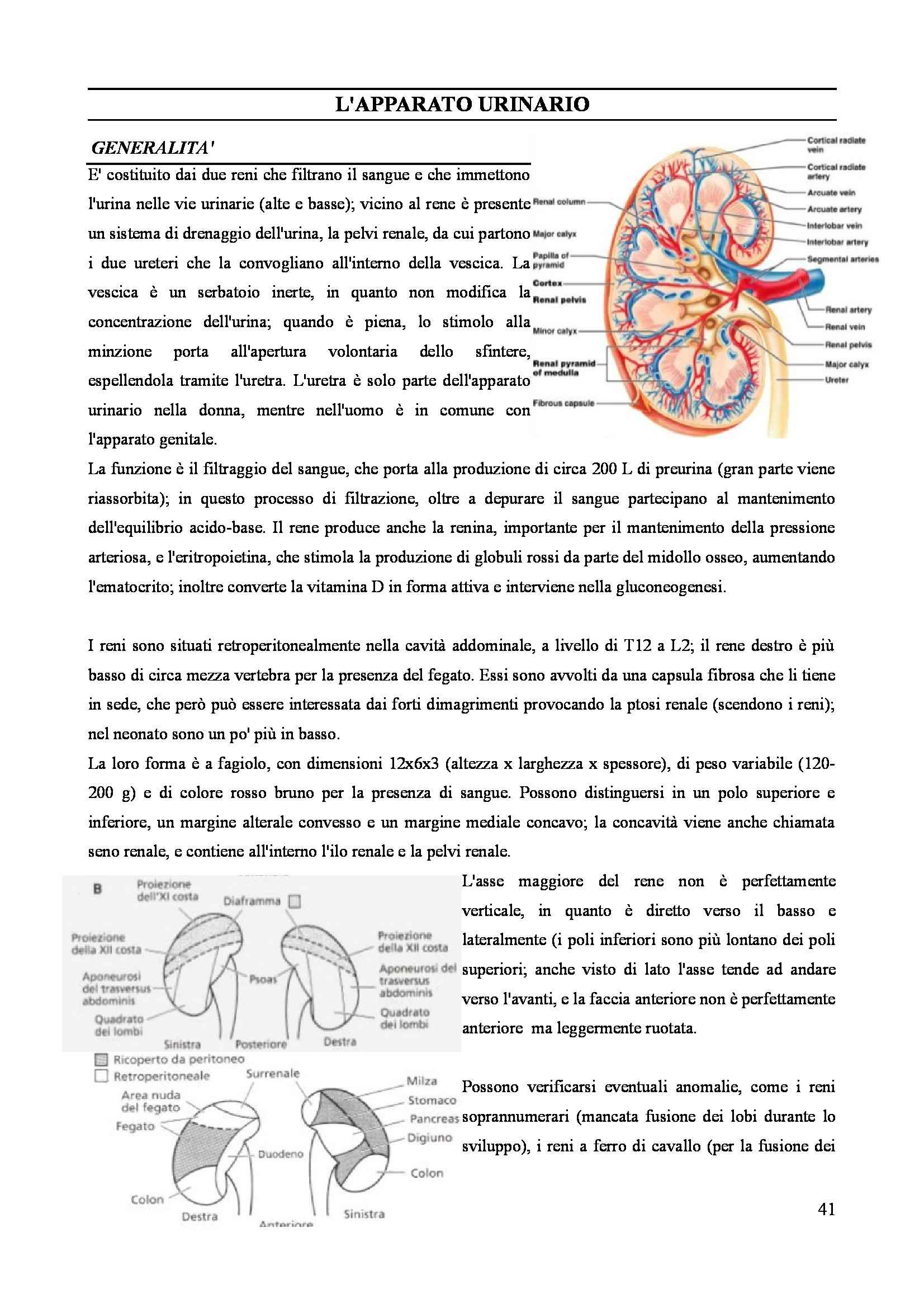 Anatomia II - Splancnologia Pag. 41