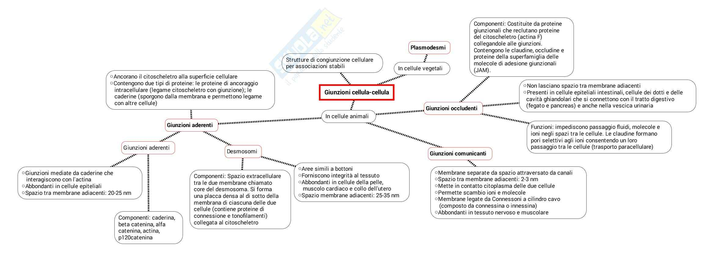 Schema su Giunzioni e matrice extracellulare