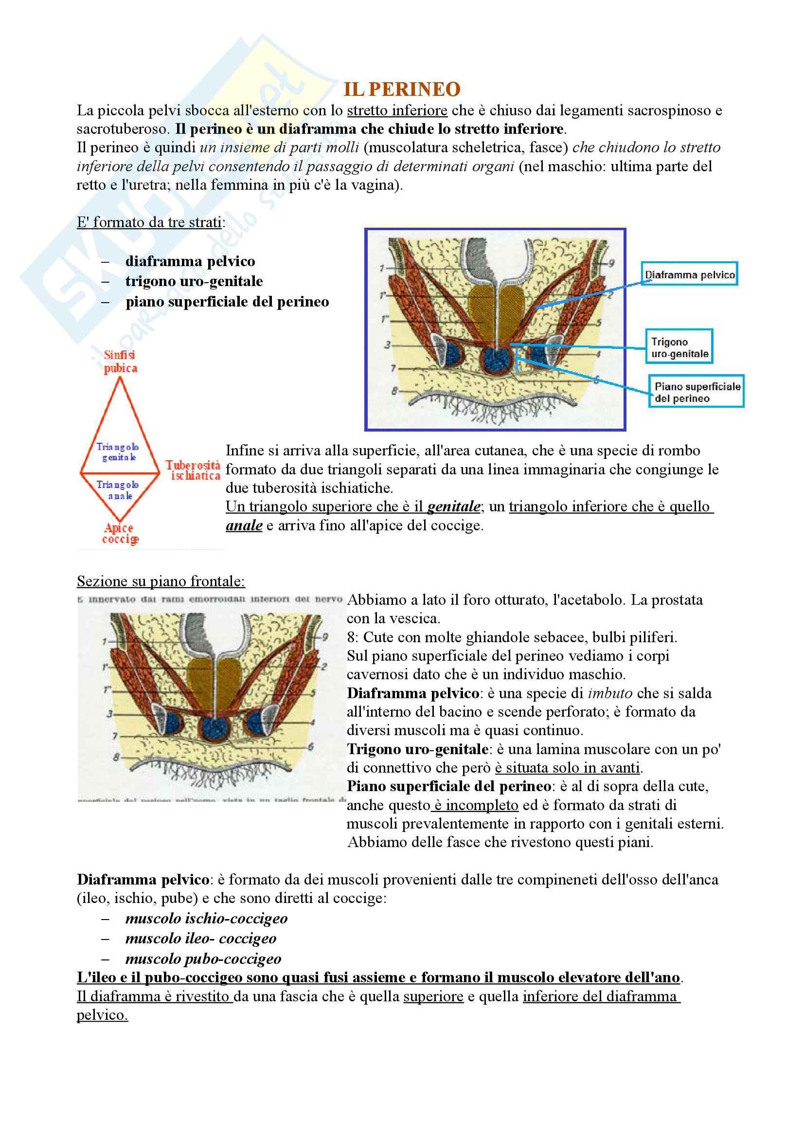 Perineo, Anatomia