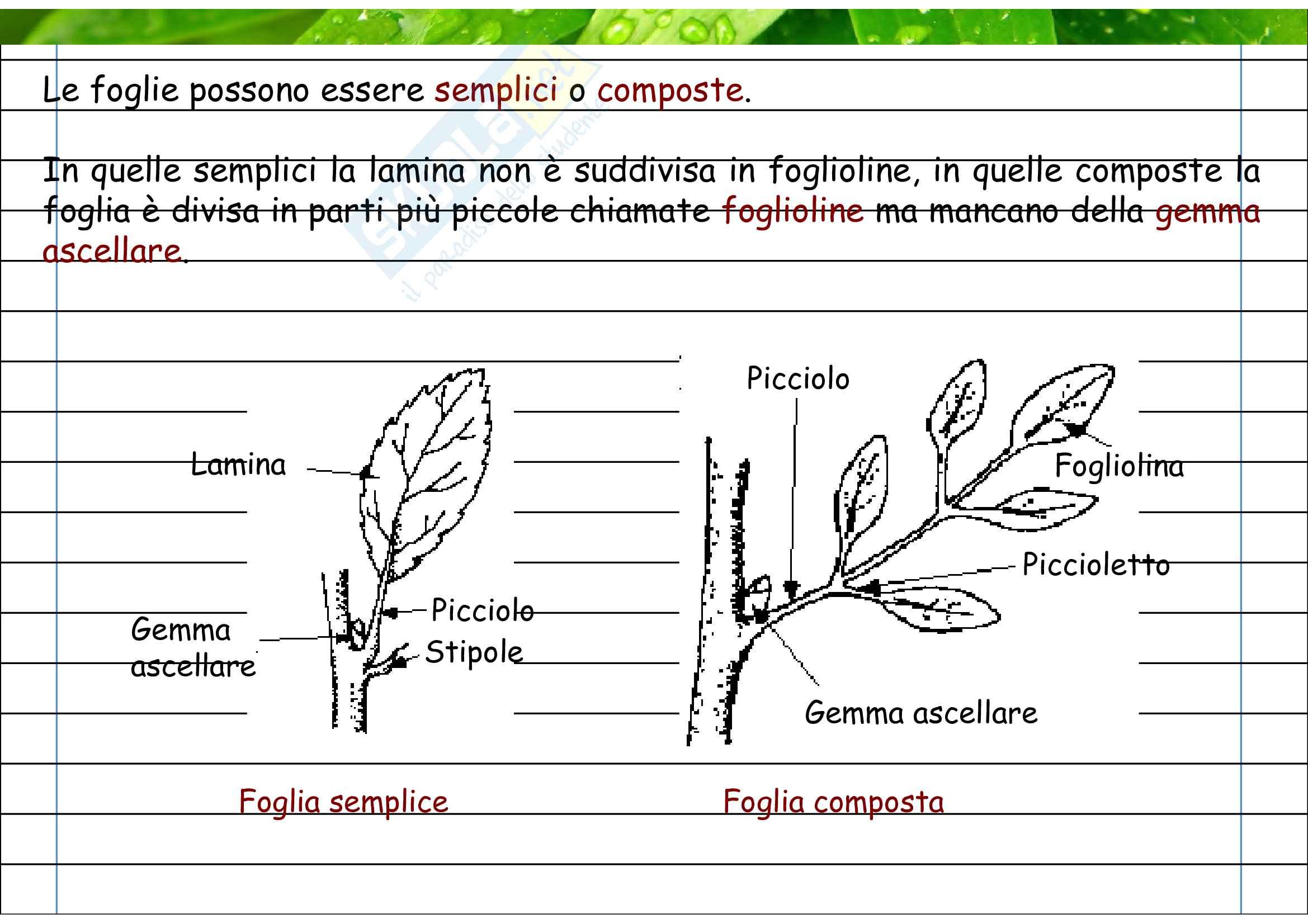 Foglie semplici e composte Pag. 2