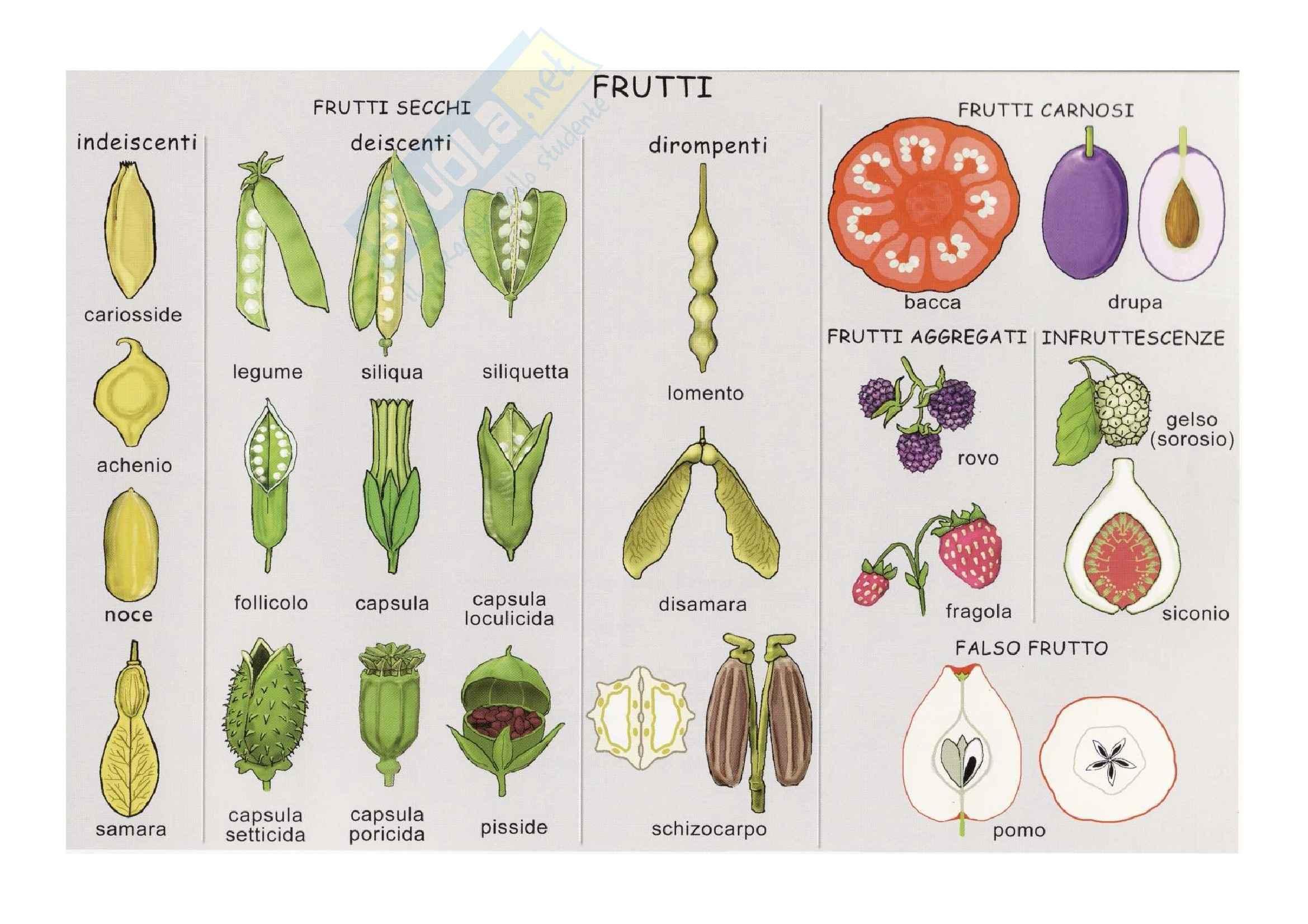 Classificazione frutti: Appunti di Paleobotanica