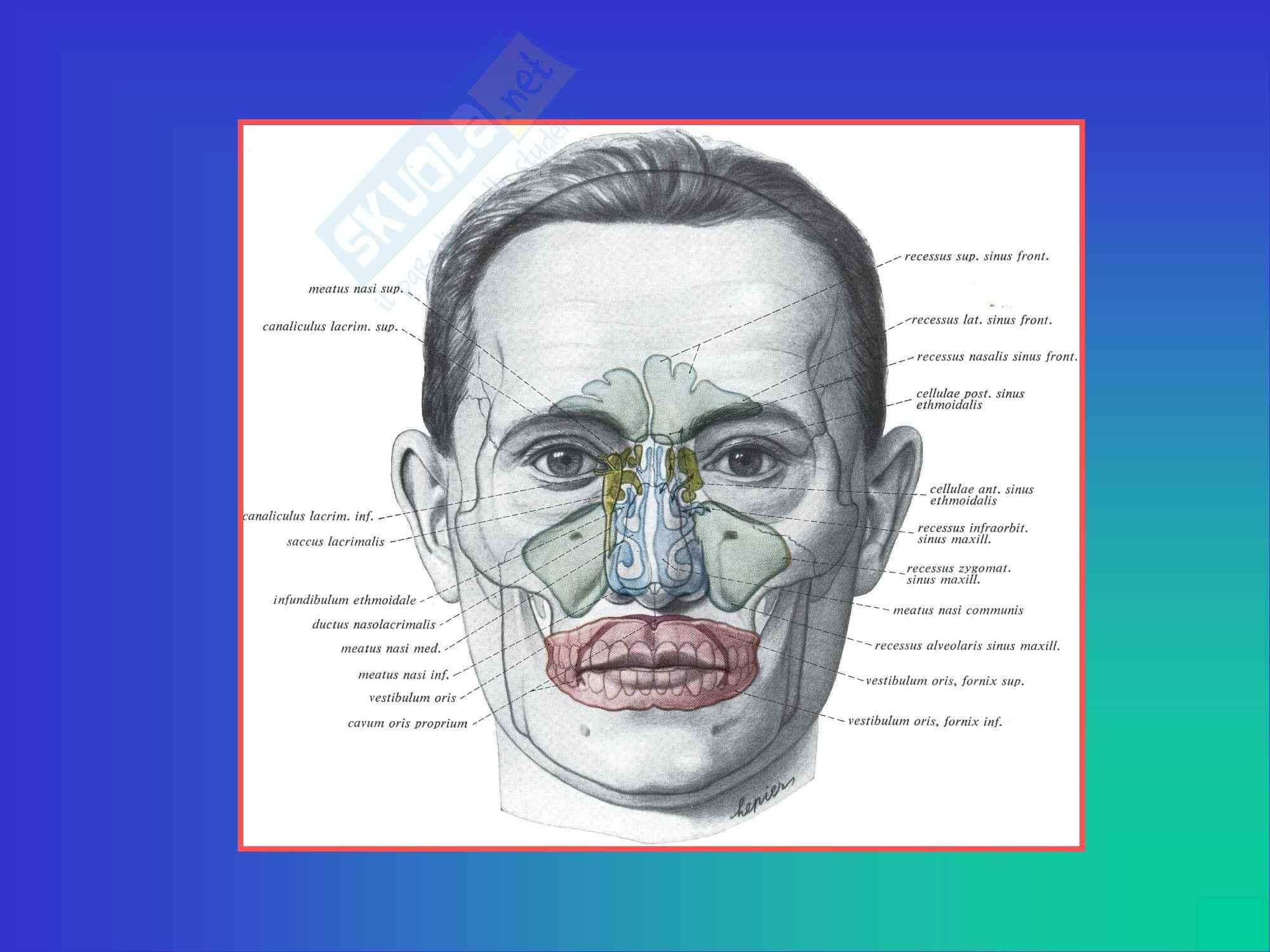 Otorinolaringoiatria - Anatomia e Fisiologia del Naso e Seni Paranasali Pag. 16