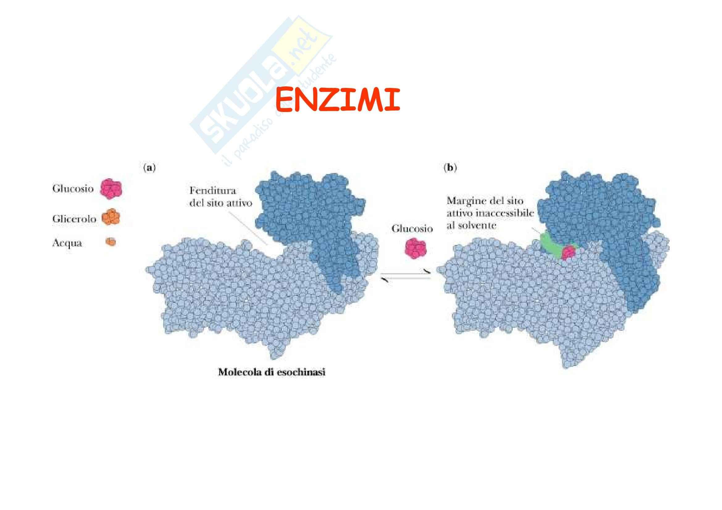 Biochimica - Enzimi