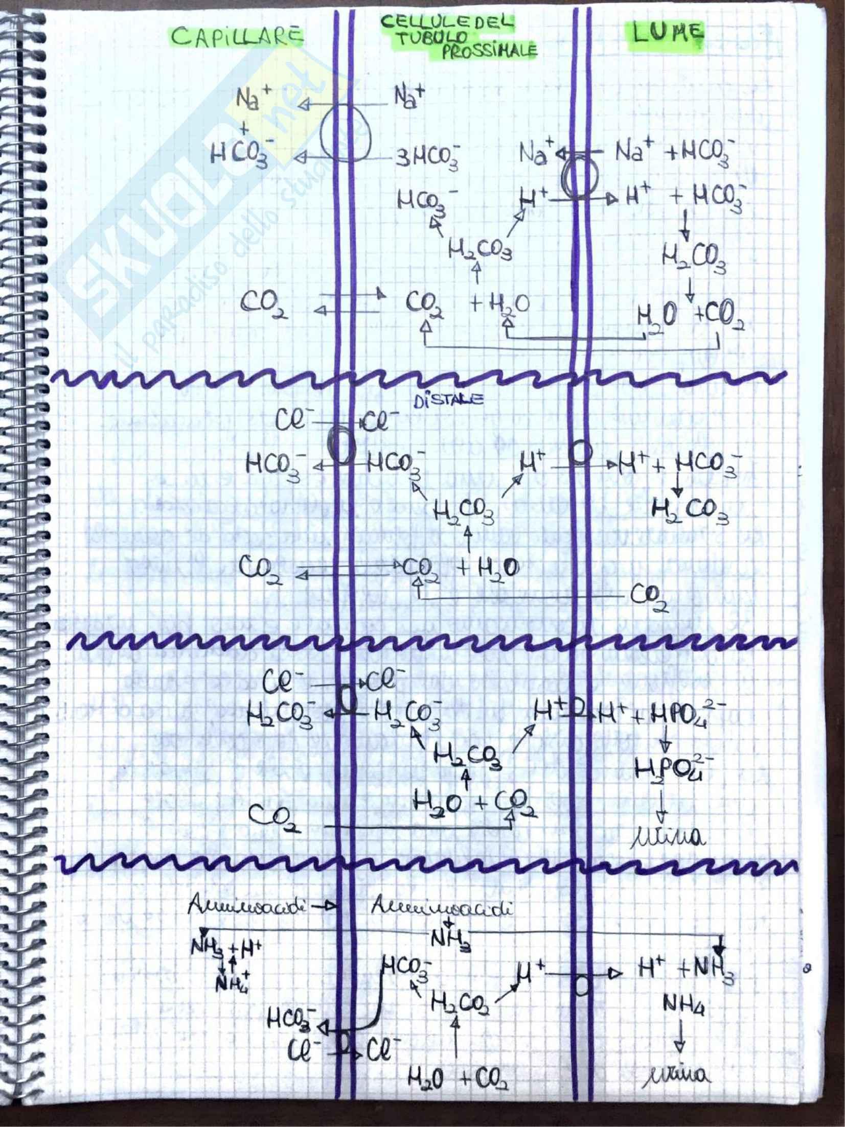 Appunti di Fisiologia umana - Prof. Tozzi Pag. 31