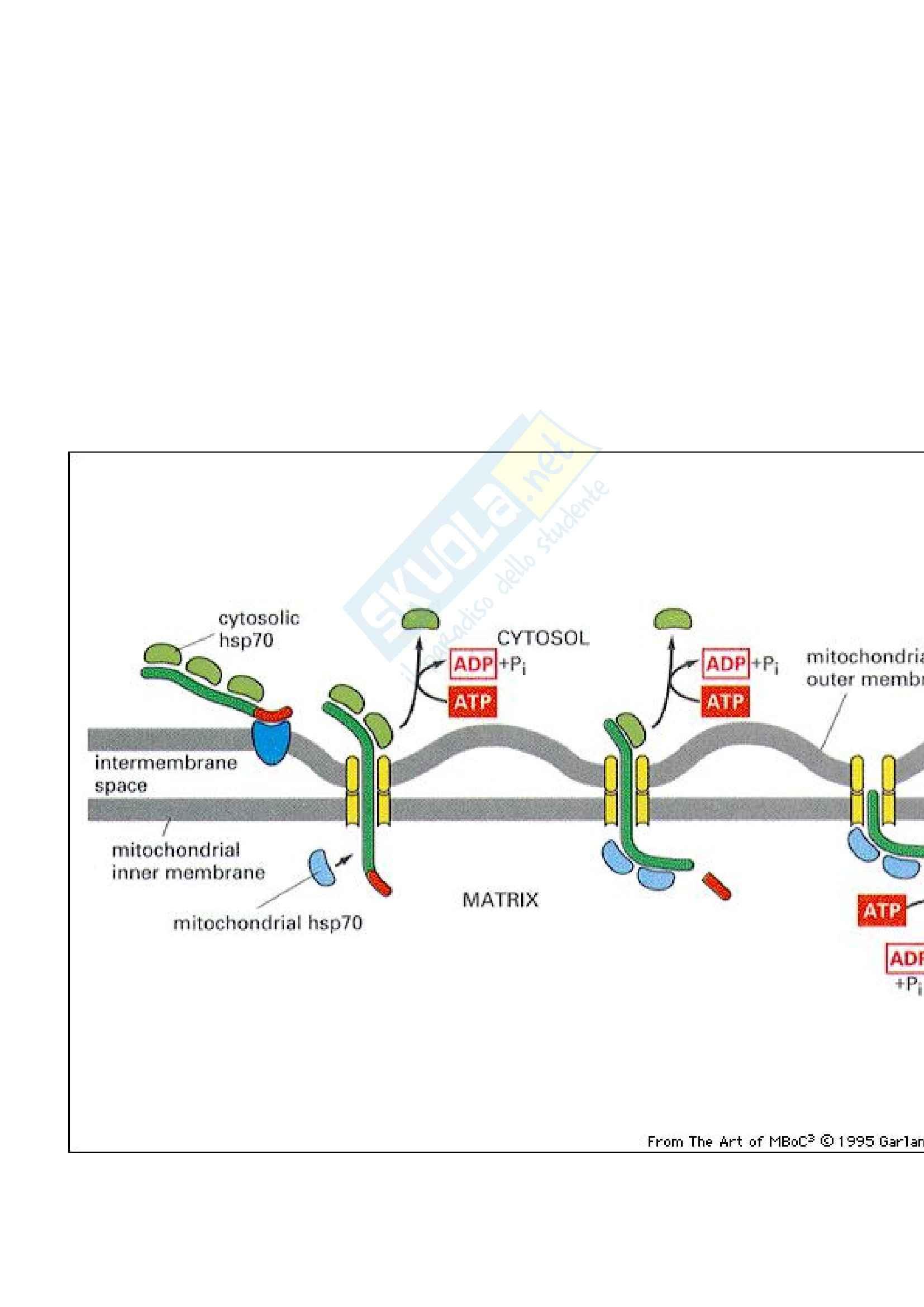 Biologia cellulare - sintesi e smistamento delle proteine Pag. 21