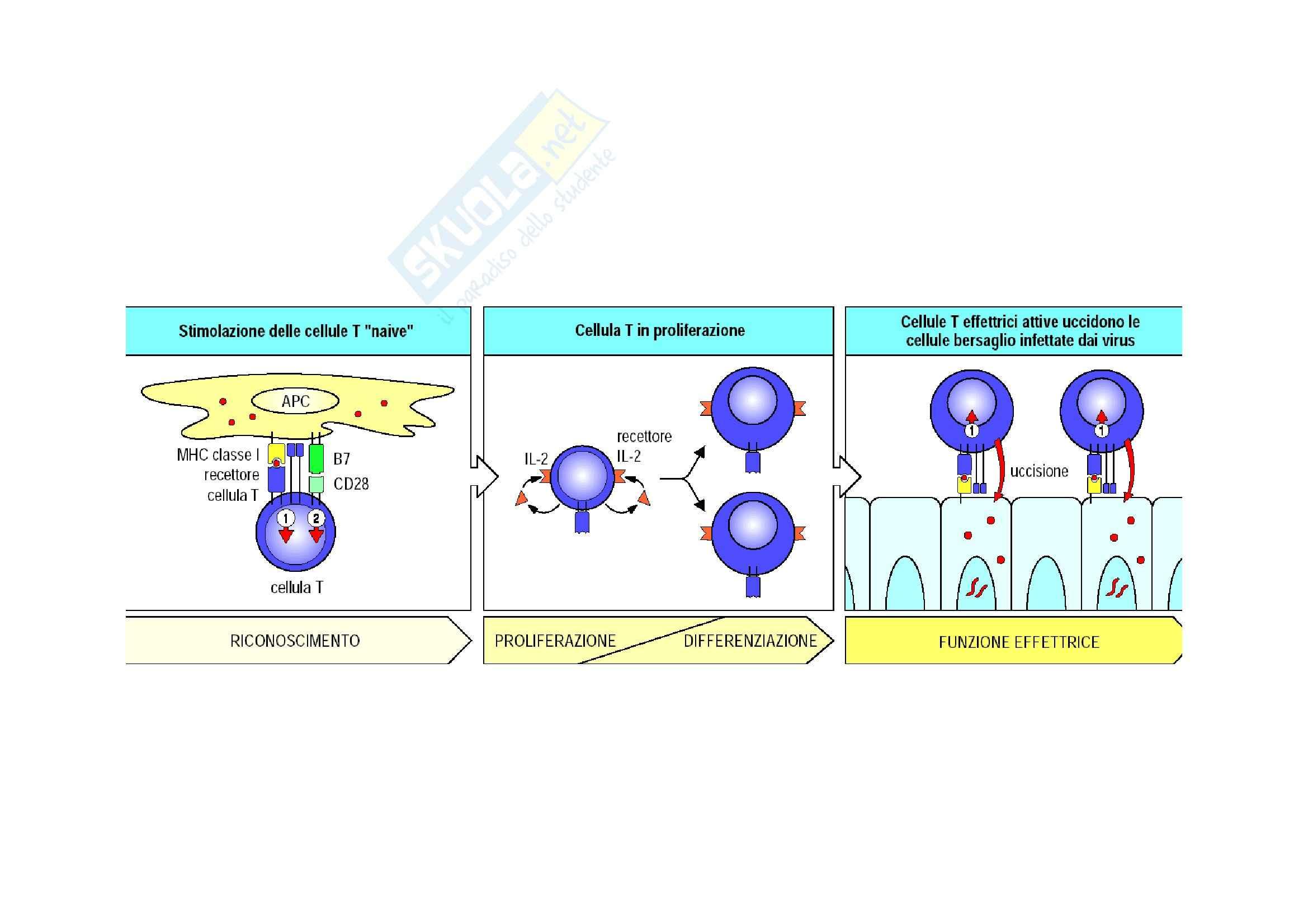 Immunologia - proprietà delle cellule T effettrici Pag. 2