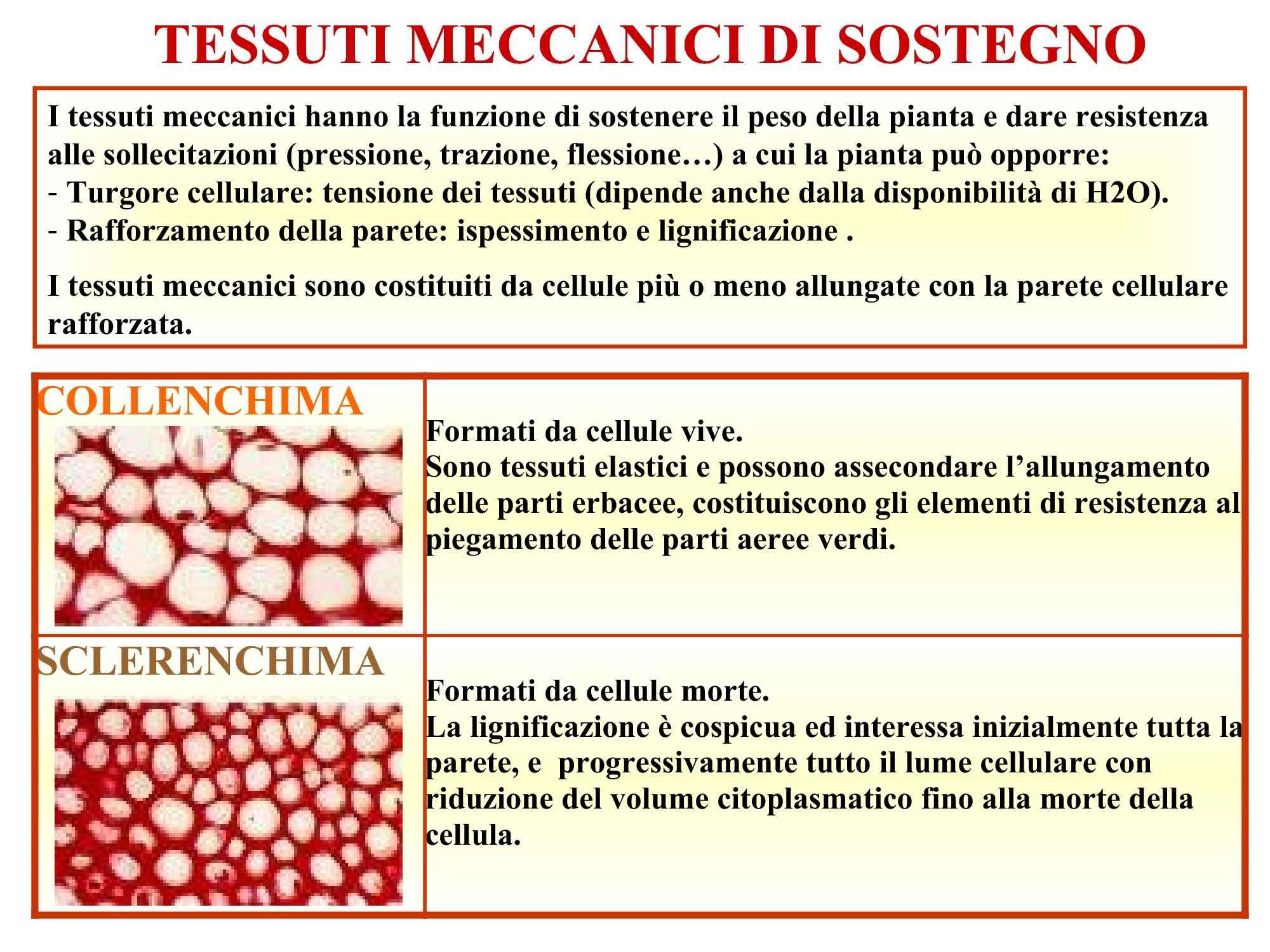 Tessuti meccanici di sostegno