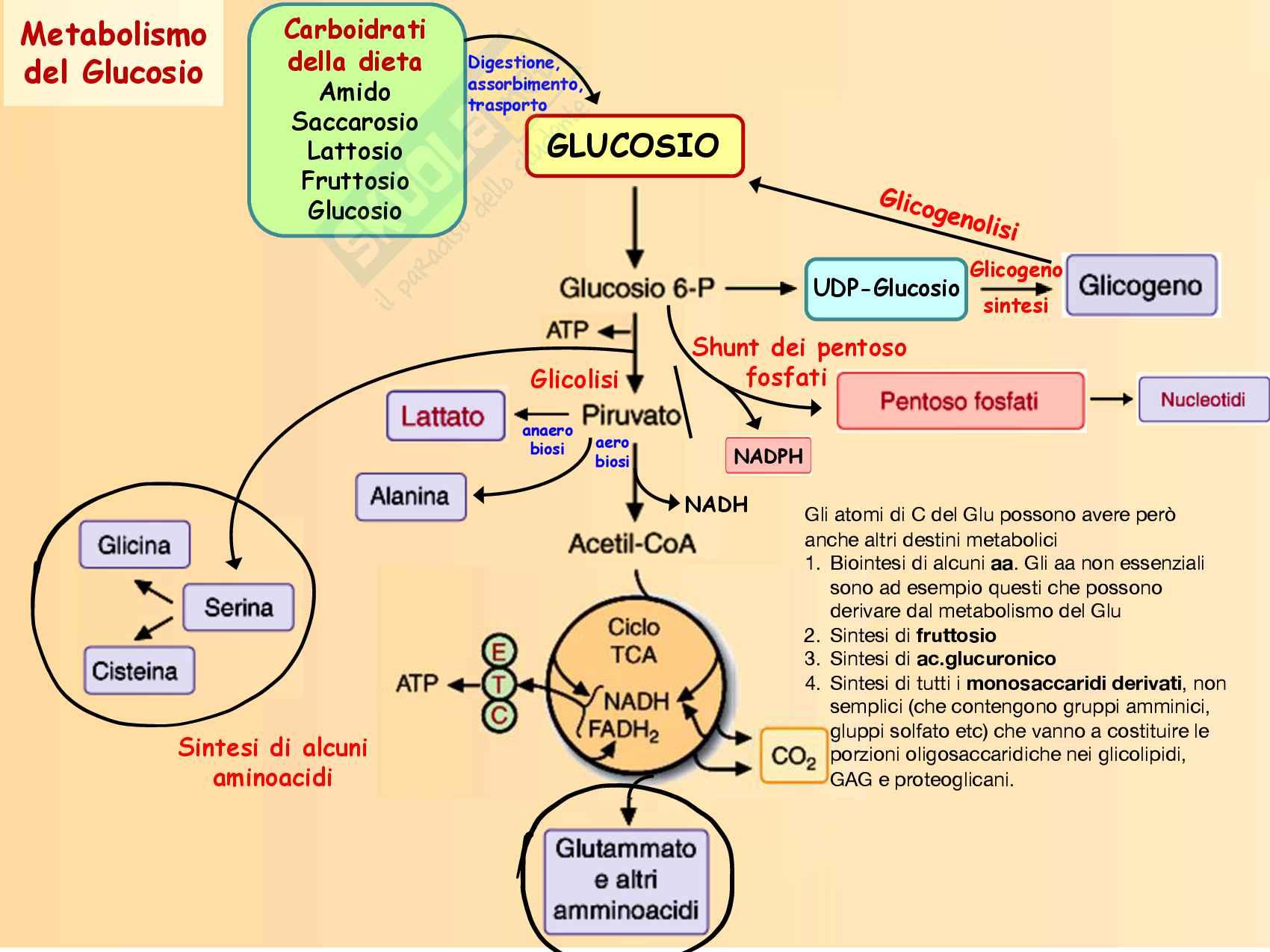 7 Altri destini metabolici del glucosio, sintesi di Fruttosio, Galattosio, lattosio, acido glucuronico e aminoderivati