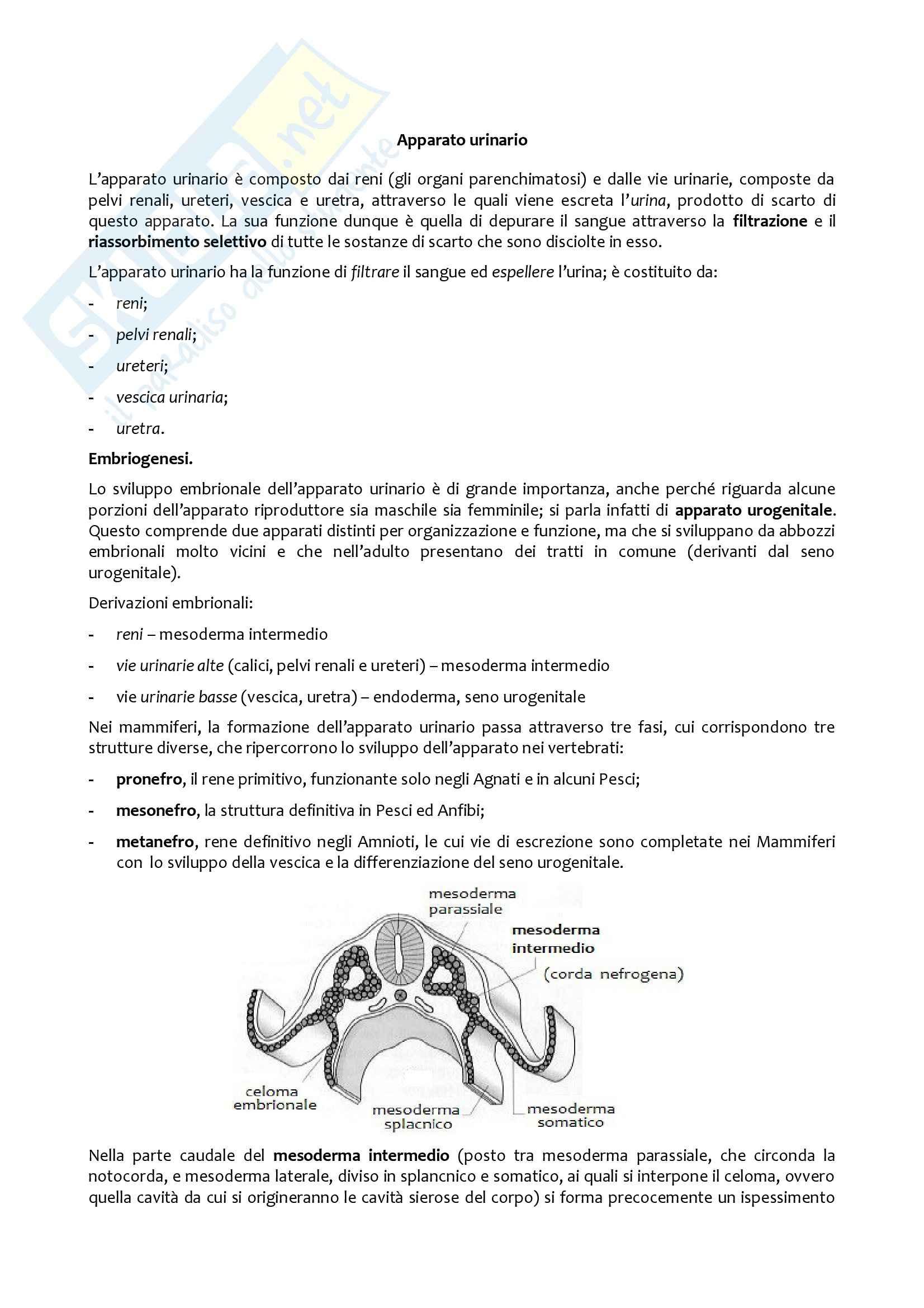 Apparato urinario, Anatomia con elementi di istologia