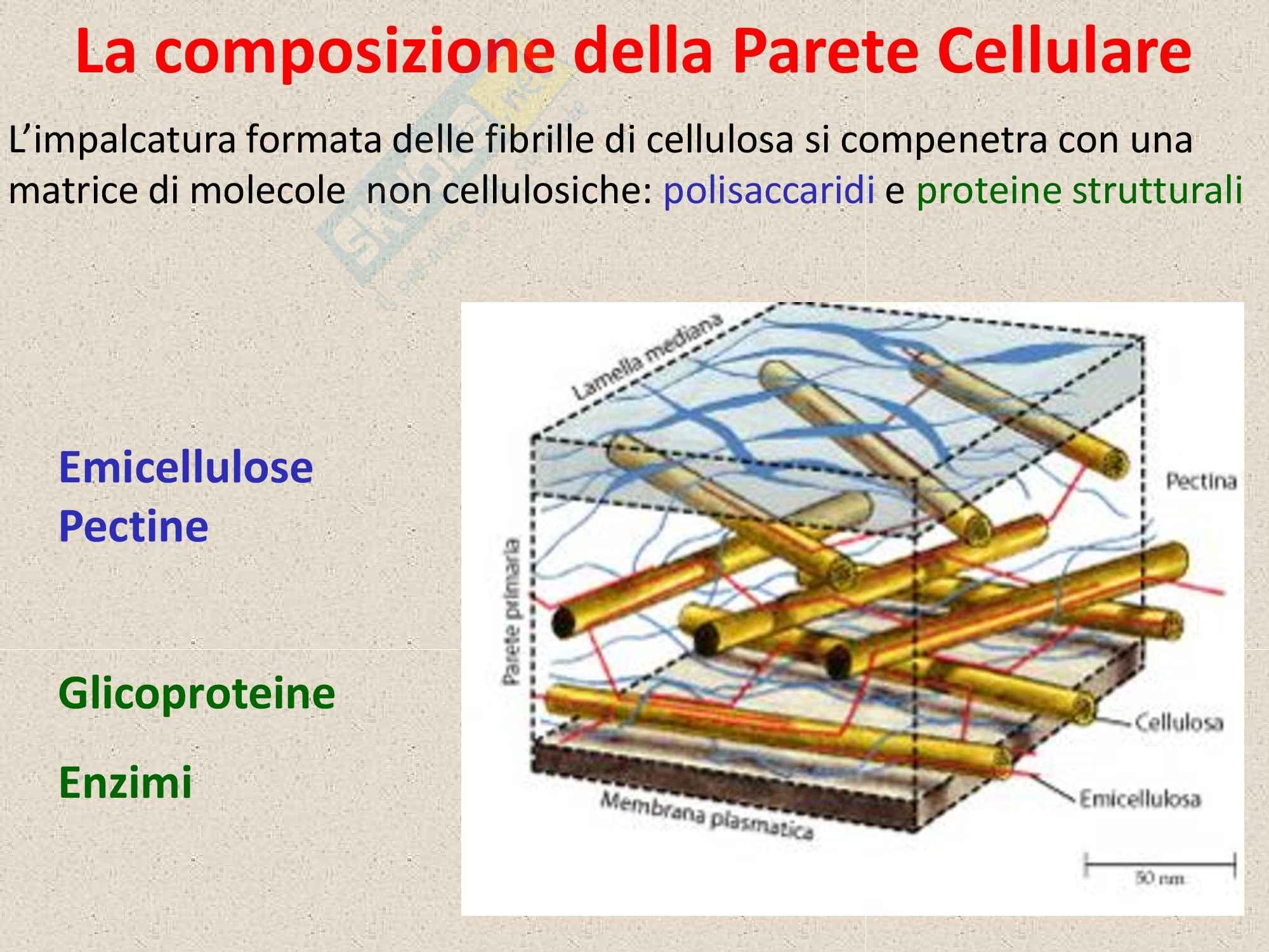 Biologia vegetale - parete cellulare Pag. 6