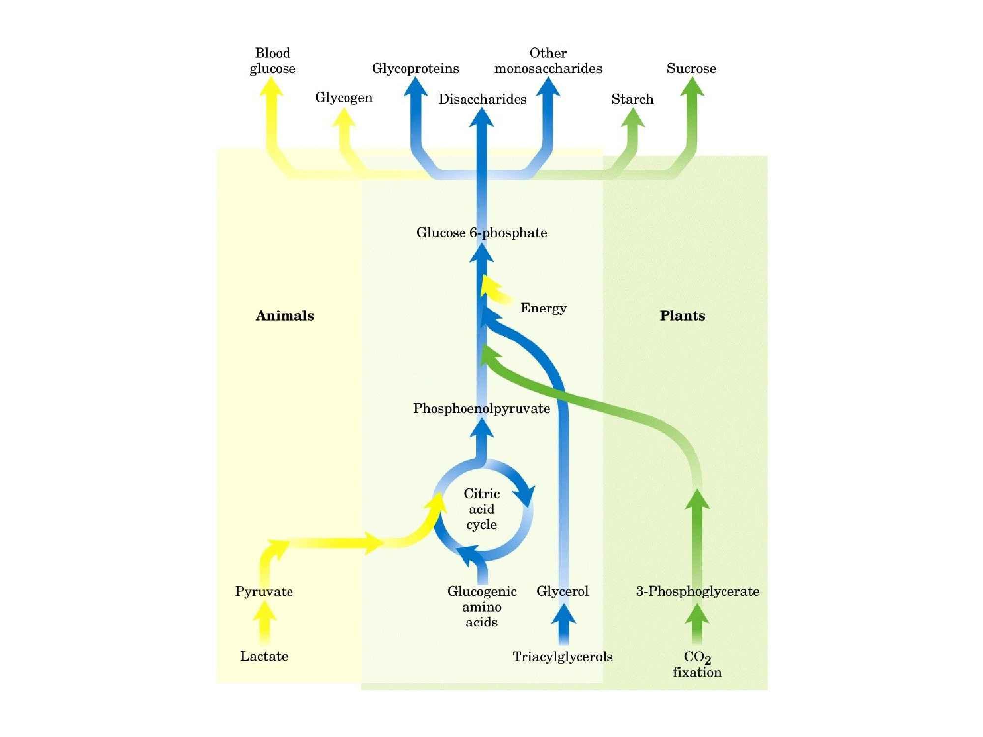 Glicogeno: gluconeogenesi e glicogeno